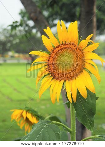 Big Sunflower Blossom In Field Of Sunflowers