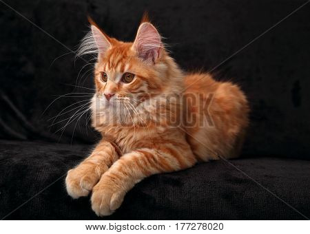 Cute Red Solid Maine Coon Kitten Lying On Cover With Beautiful Brushes On The Ears With Profile Look