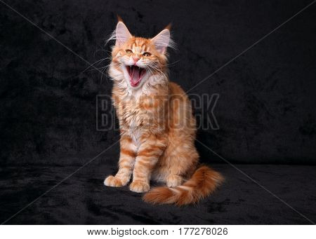 Adorable Cute Red Solid Maine Coon Kitten Sitting With Opening Yawning Mouth On Black Background