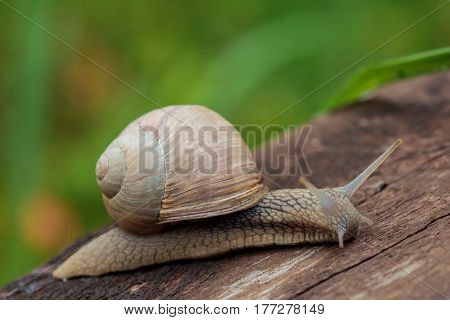 Burgundy snail Roman snail edible snail or escargot (Helix pomatia) on the plank