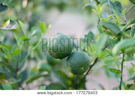 Green Lime On The Lime Tree , Lemon On The Tree , Close Up