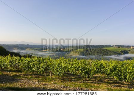 On of the many vineyards near San Gimignano in Tuscany, Italy. Morning picture with mist