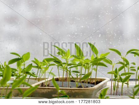 Small plants in plastic containers sprouting from seed on blurred urban background