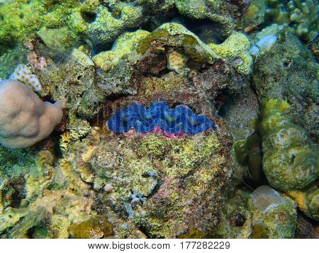 The surprising underwater world of the Bali basin, Island Bali, Lovina reef clam