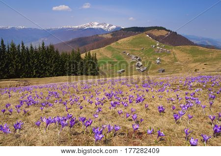 Flowering meadow in the mountains. Spring landscape with flowers of crocuses. Sunny day. Alpine settlement of shepherds with wooden houses. Carpathians, Ukraine, Europe