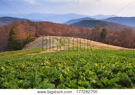 Spring landscape with a green meadow. Haze in the mountains. Beech forest in the hills. Carpathians, Ukraine, Europe