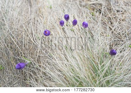 First spring flowers. Purple crocuses in dry grass