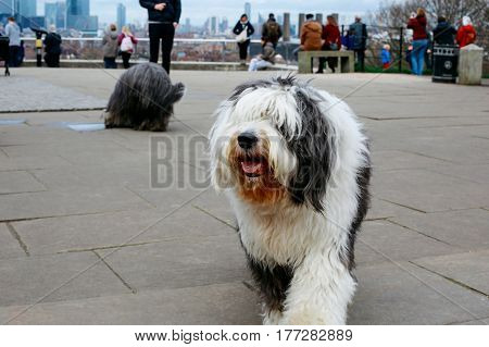 Happy Old English Sheepdog in Greenwich Park, tourists and London skyline on the background.