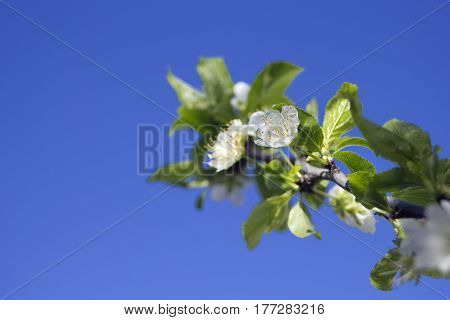 Spring Plum Flowers branch on blue sky background