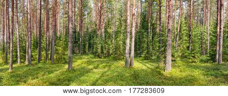Panoramic view of fir forest on a summer day