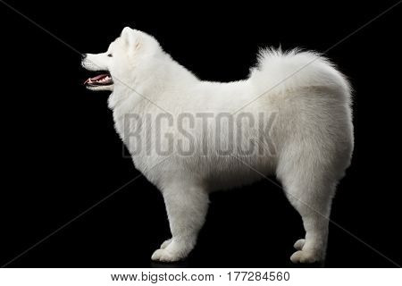 Furry Samoyed White Dog Standing isolated on black background, side view