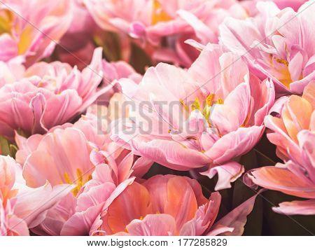 Terry purple tulip with pollen grow under warm sunshine