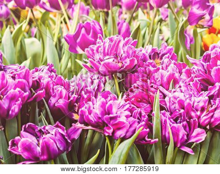 Terry purple tulips growing in the sunshine