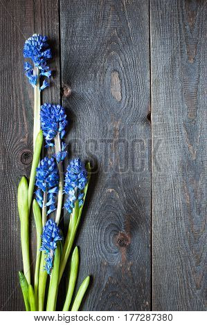 Wooden brown aged background with blue hyacinth