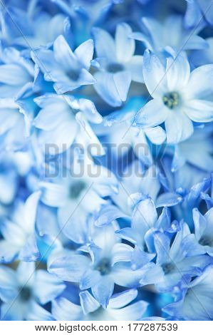 Background of blue flowers close up, macro