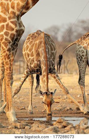 Giraffe (Giraffa camelopardalis) drinking water, Etosha National Park, Namibia