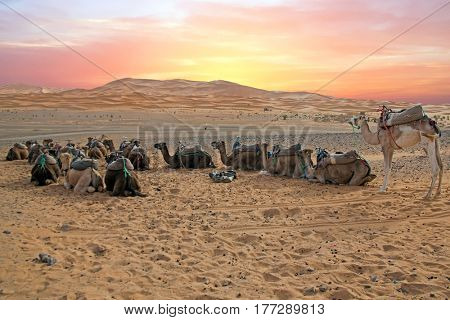 Camels in the Erg Shebbi desert in Morocco at sunset