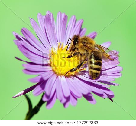 detail of bee or honeybee in Latin Apis Mellifera european or western honey bee sitting on the violet flower isolated on green background golden honeybee on flower