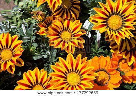 Yellow gazania flowers open to the sun