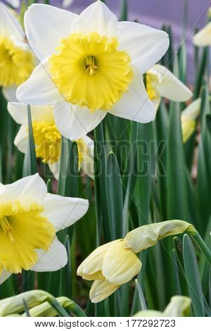 Yellow narcissus, close up, in a flower field, spring time, bardar village, moldova