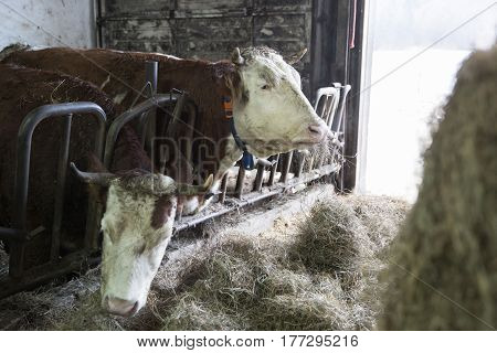 Cattle in a stall on a farm. Meat and milk production agriculture industry animal welfare concept.