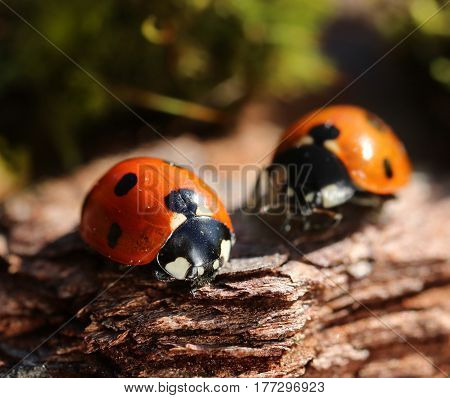 Two ladybugs of early spring crawling in soil natural environment