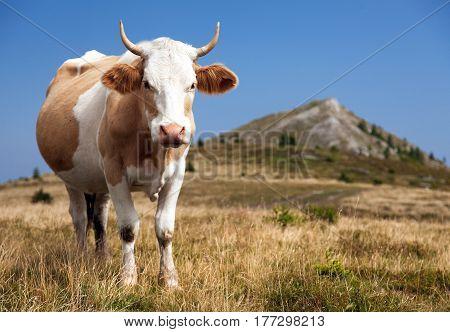 cow (bos primigenius taurus) on Dolomities Italy