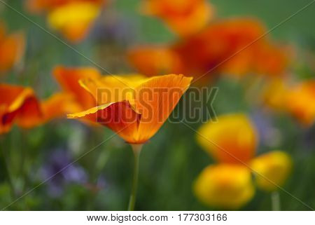 An orange California poppy blooms in springtime.