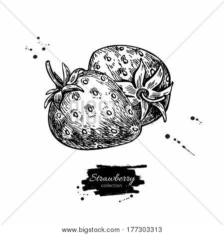Strawberry vector drawing. Isolated hand drawn berry on white background.  Summer fruit engraved style illustration. Detailed vegetarian food. Great for label, poster, print