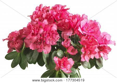 Blooming pink azalea isolated on white background