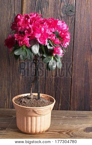 Blooming pink azalea in pot on wooden table