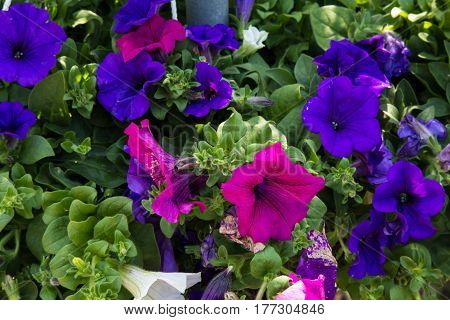White purple and blue colored Petunia flowers