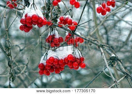 Viburnum berries in the garden under the snow