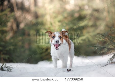 Dog Jack Russel Terrier Outdoors In The Forest, Happy