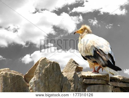Vulturine Bird On The Rock. Concepts Of Freedom And Strength