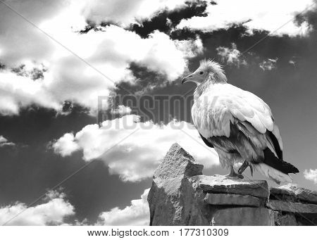 Vulturine Bird On The Rock. Concepts Of Freedom And Strength. Black And White