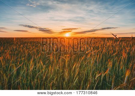 Landscape Of Wheat Field Under Scenic Summer Dramatic Sky In Sunset Dawn Sunrise. Skyline.
