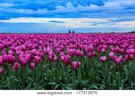 Blue clouds forming over a Tulip field.