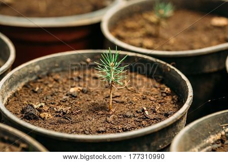 Small Green Sprouts Of Cedar Tree Plant With Leaf, Leaves Growing From Soil In Pot In Greenhouse Or Hothouse. Spring, Concept Of New Life.