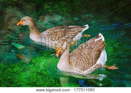 Pair of Geese Swims Down the River