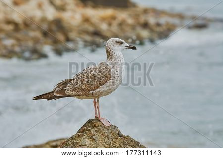 Seagull Resting on Stone near the Sea