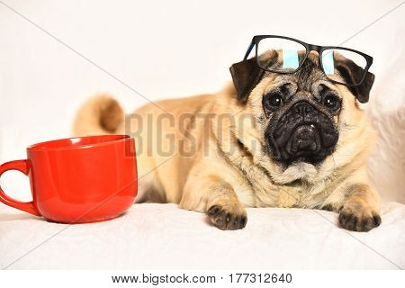 Pug dog with light brown fur and black muzzle wearing glasses sitting on chair near red mug for coffee or tea