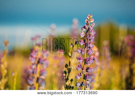 Wild Flowers Lupine In Summer Field Meadow At Sunset Sunrise. Close Up. Copyspace. Lupinus, Commonly Known As Lupin Or Lupine, Is A Genus Of Flowering Plants In The Legume Family, Fabaceae.