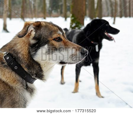 Two dogs in the wood in the winter during light snowfall. They carefully look in one direction. Focus on the head of the closest dog.