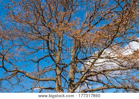 Big Oak With Barren Branches In The Spring
