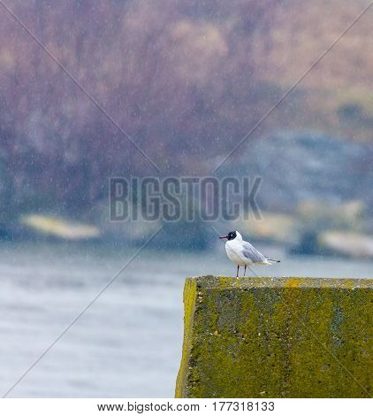 Black Headed Gull In The Rain