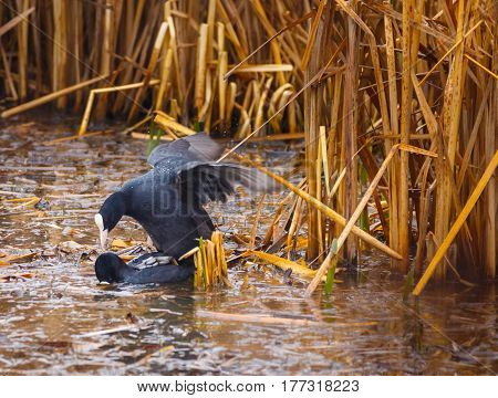 Eurasian Coots Mating In The Swamp