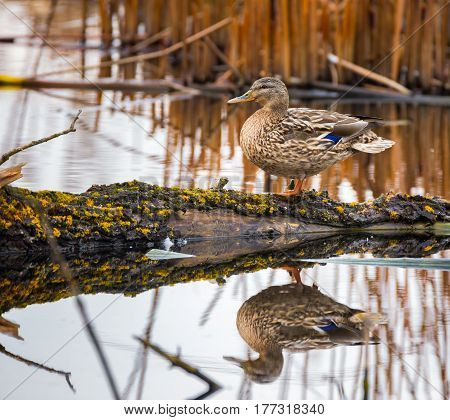 Female Mallard On A Log