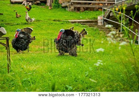 Two male turkeys strutting on grassy green meadow