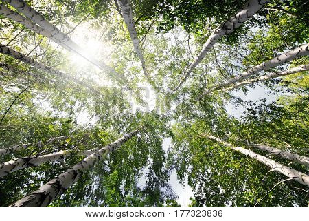 top of summer birch trees with sun shining